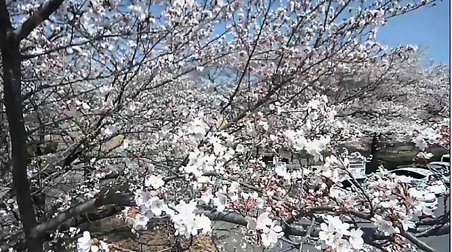 東御中央公園の桜並木ライブカメラ