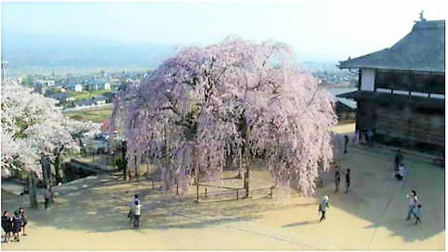 座光寺麻績の里の舞台桜のライブカメラ