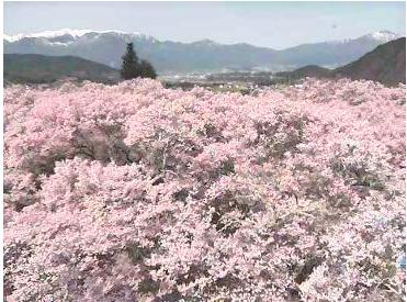 高遠城址公園桜のライブカメラ2